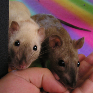 black eyed siamese and burmese rats