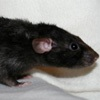 black rex dumbo rat
