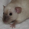 black eyed siamese dumbo rat