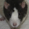 Black Blazed Variegated rat