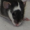 black variegated dumbo rat