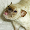 black eyed siamese dumbo rat female