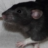 Black Variegated Berkshire Dumbo rat