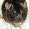mismarked black hooded rat